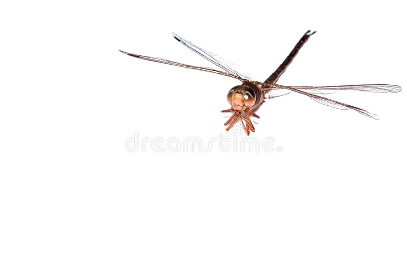 dragonfly macro close up image isolated above white background stock photo