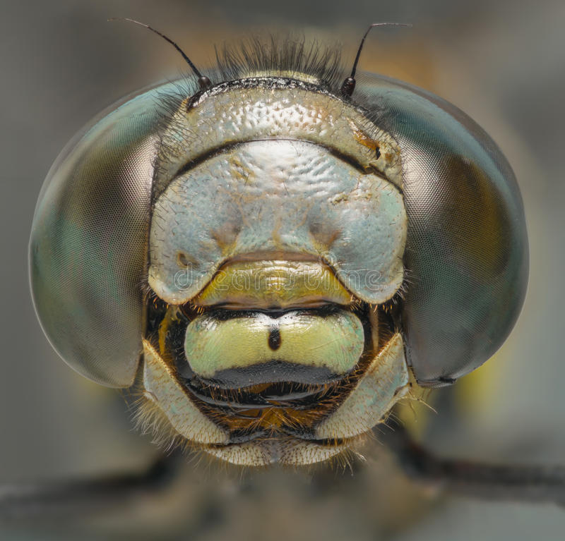 Dragonfly macro head shot front view royalty free stock photos