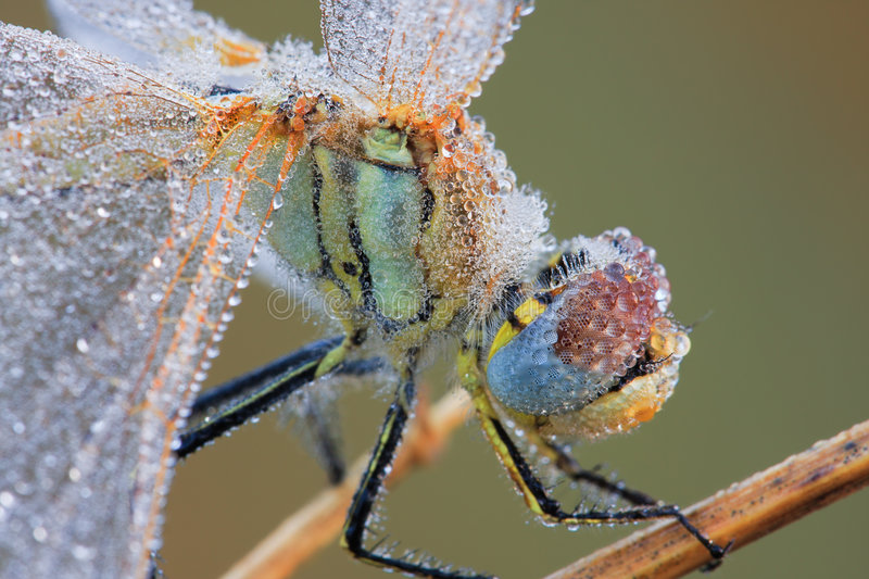 The dragonfly macro portrait royalty free stock image