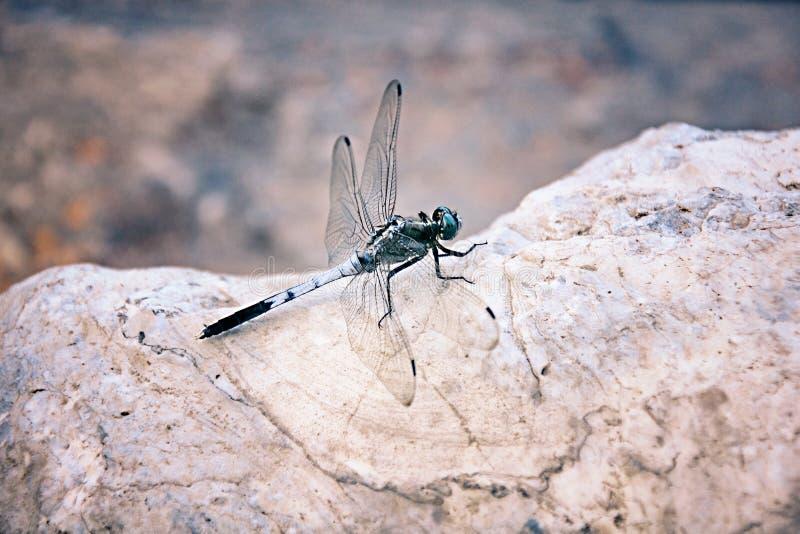 Dragonfly Makro- obraz royalty free