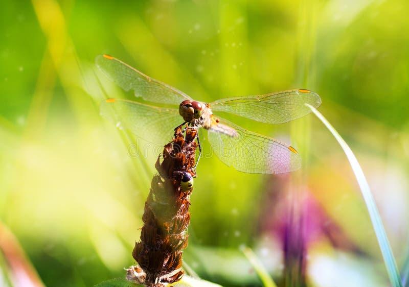 Dragonfly makro- na zielonym tle w parku, lata piękny tło zdjęcie royalty free