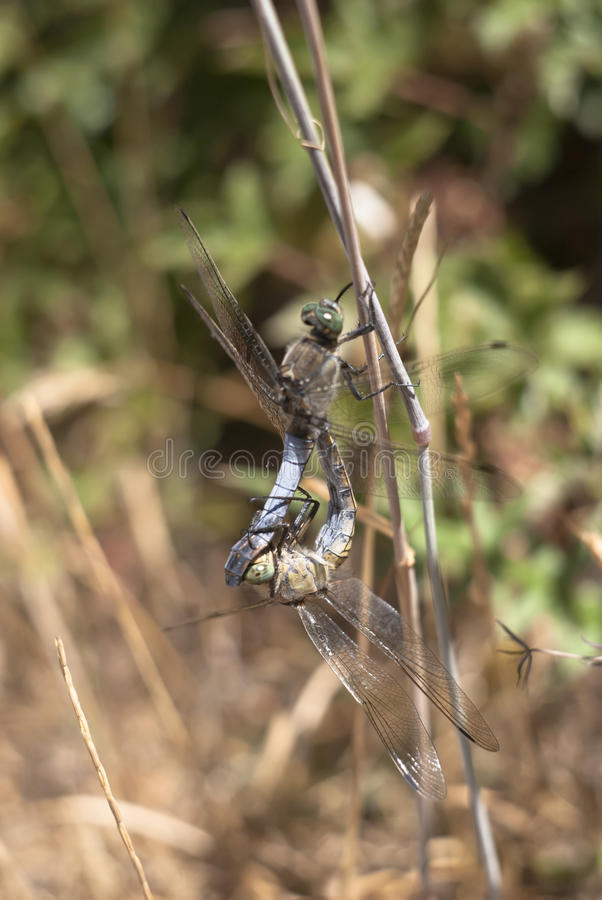 Download Dragonfly mating stock photo. Image of invertebrate, fauna - 26625842