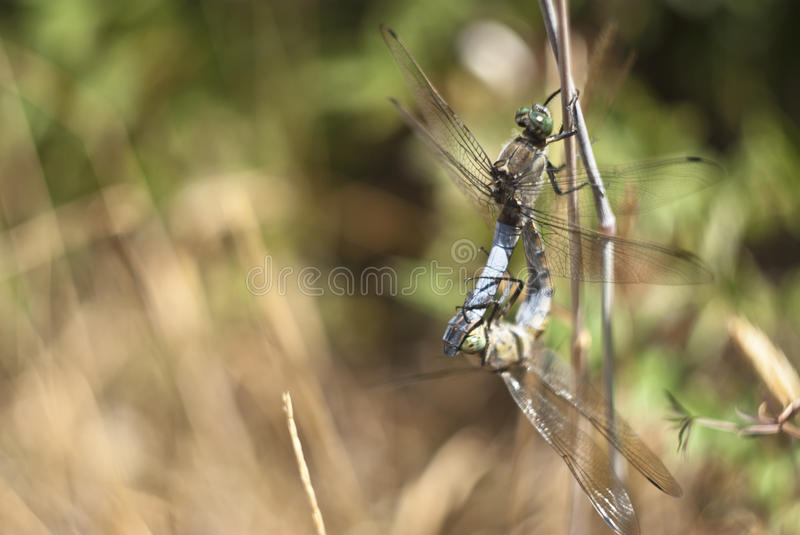 Download Dragonfly mating stock image. Image of isolated, chaser - 26625861