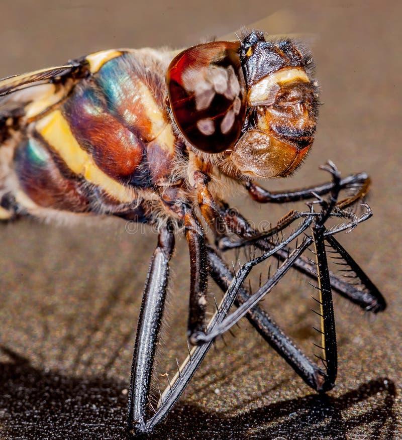Dragonfly mikro fotografia stock