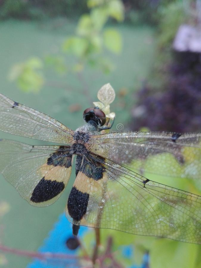 Dragonfly and morning dew royalty free stock photo