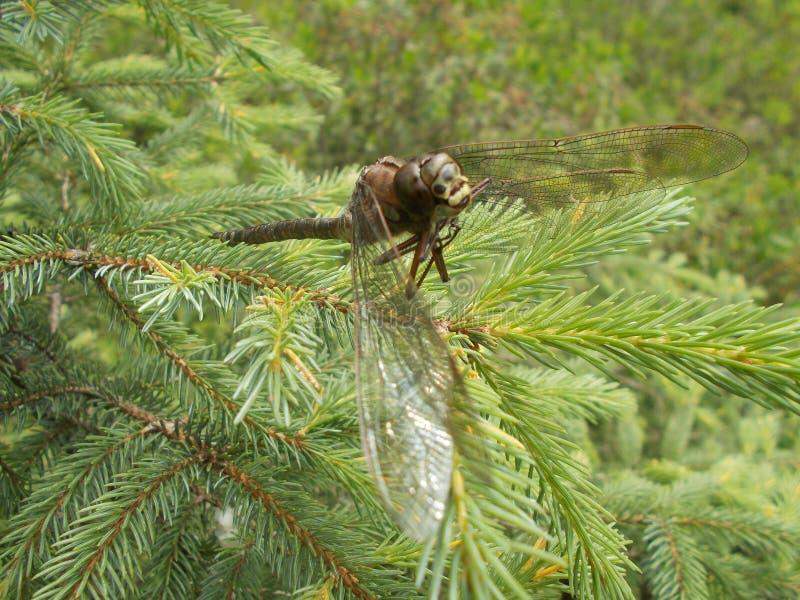 Dragonfly na jedlinowym drzewie zdjęcie royalty free