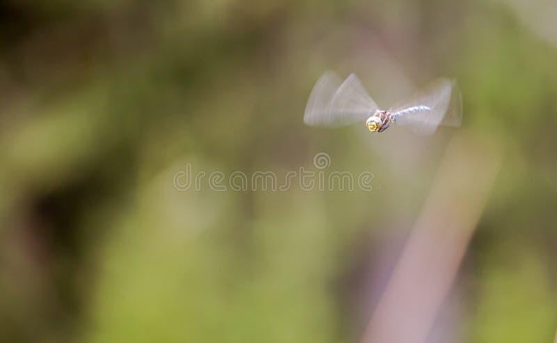 Dragonfly na jego komarnicie 2 obraz royalty free