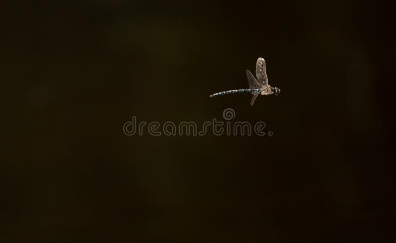 Dragonfly na jego komarnicie zdjęcia stock