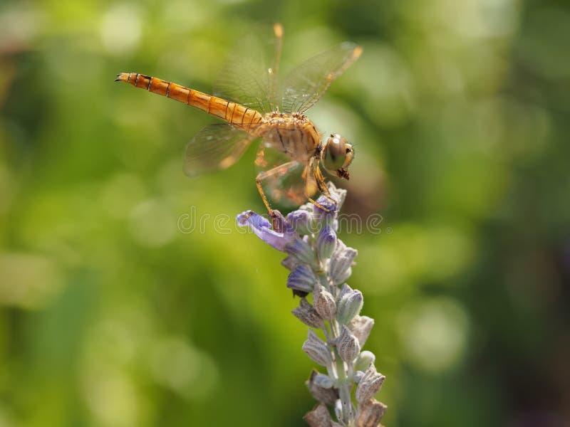 Dragonfly Na kwiacie Z zdobyczem W górze zdjęcia royalty free