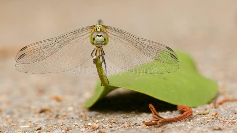 Dragonfly na liściu fotografia stock