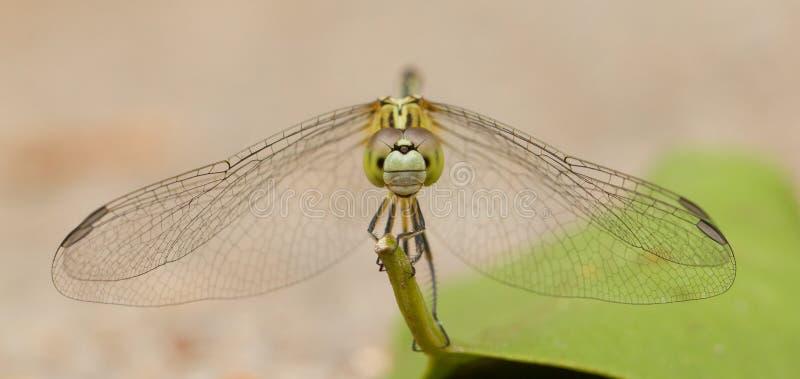 Dragonfly na liściu zdjęcia stock