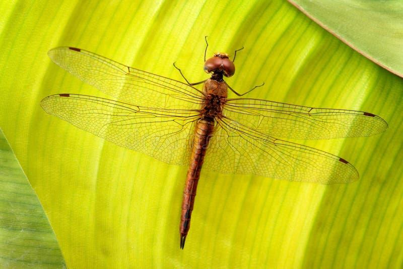 Dragonfly na liściu obrazy royalty free