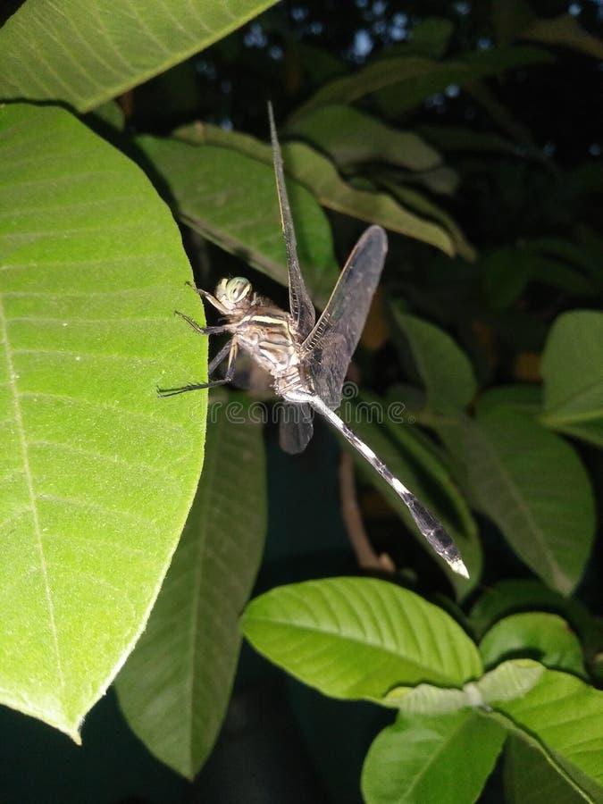 Dragonfly na liściu przy nocą obrazy royalty free
