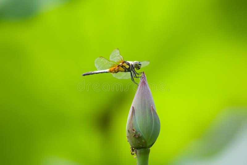 Dragonfly na lotosowym kwiacie fotografia royalty free