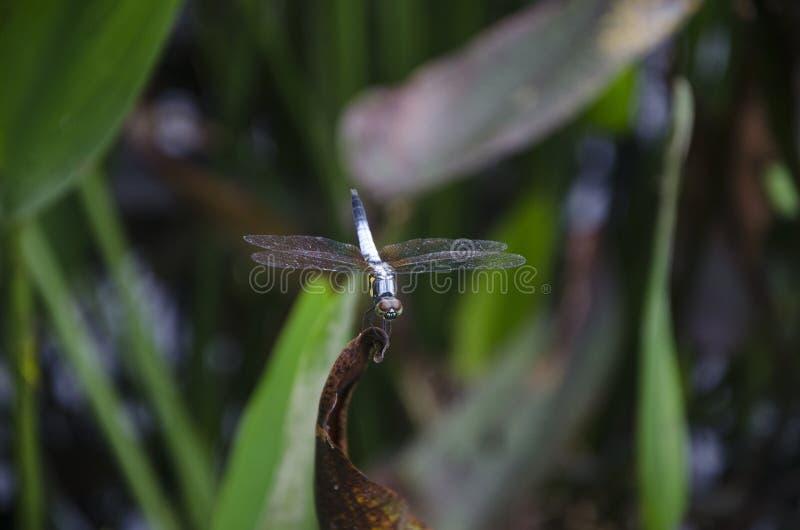 Dragonfly na ostrzu trawa zdjęcie stock