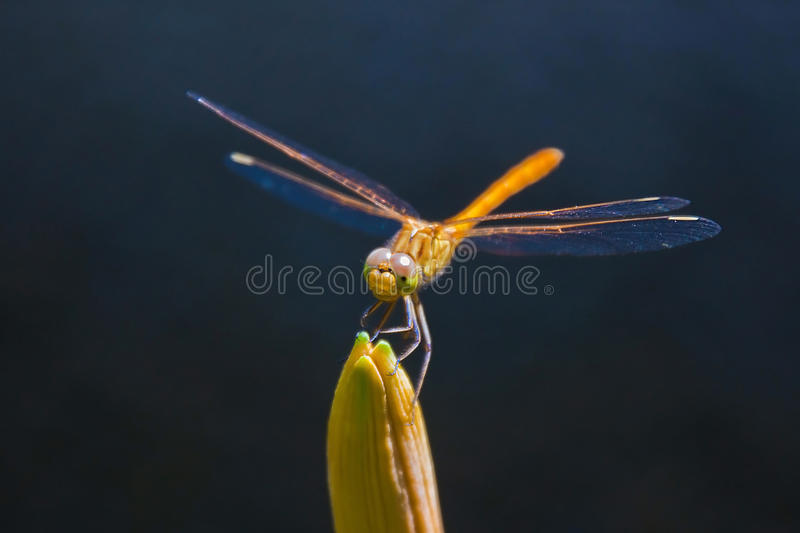 Dragonfly na pączku obrazy royalty free