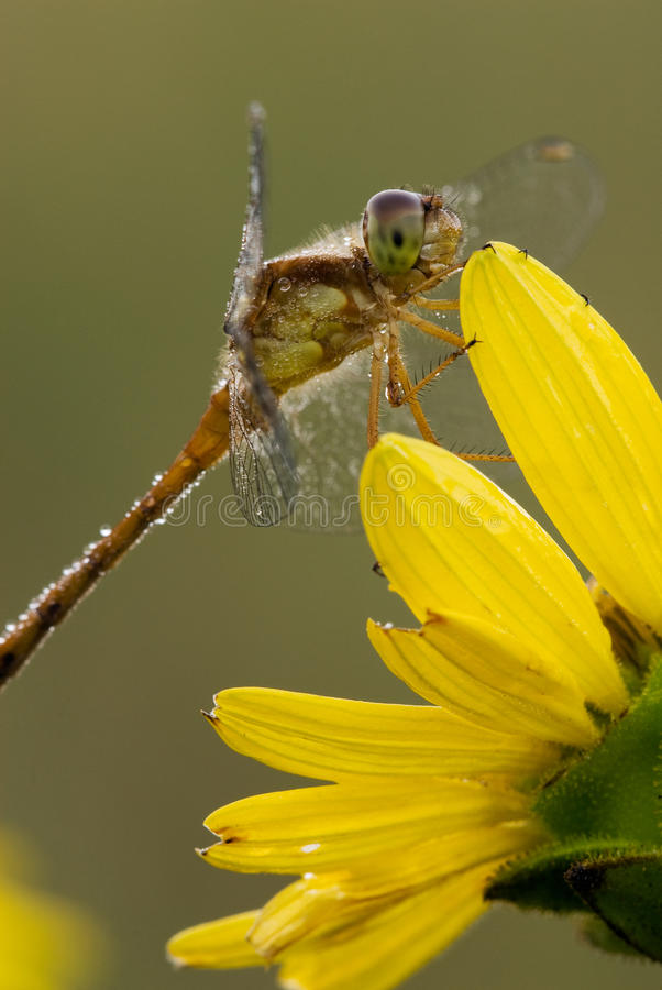 Dragonfly na rosinweed okwitnięciu zdjęcia stock