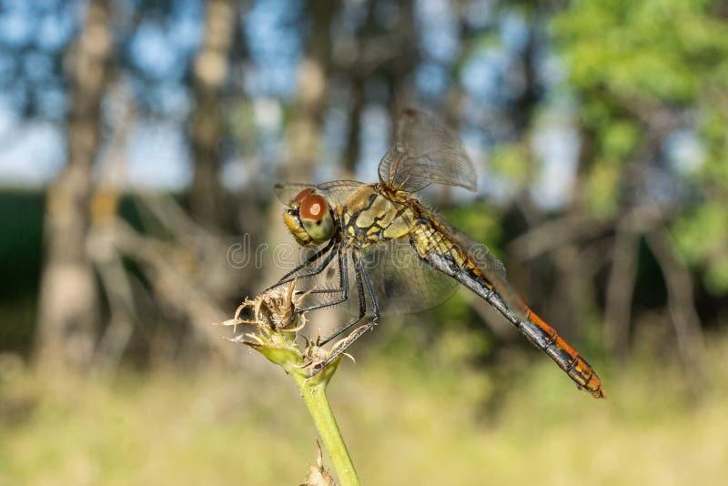 Dragonfly na trawie zdjęcie royalty free
