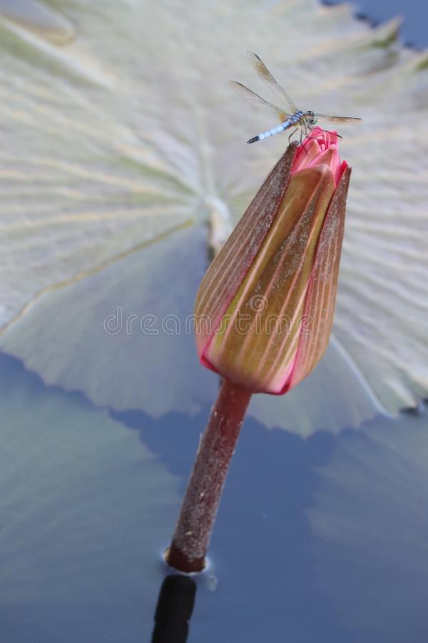 Dragonfly na Wodnej lelui zdjęcia stock