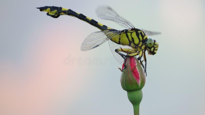 Dragonfly na wzrastał zdjęcia stock