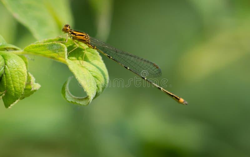 Dragonfly nad zielonym liściem fotografia royalty free