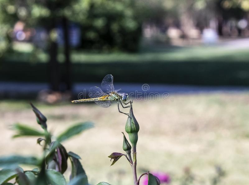 Dragonfly on the nature garden stock image