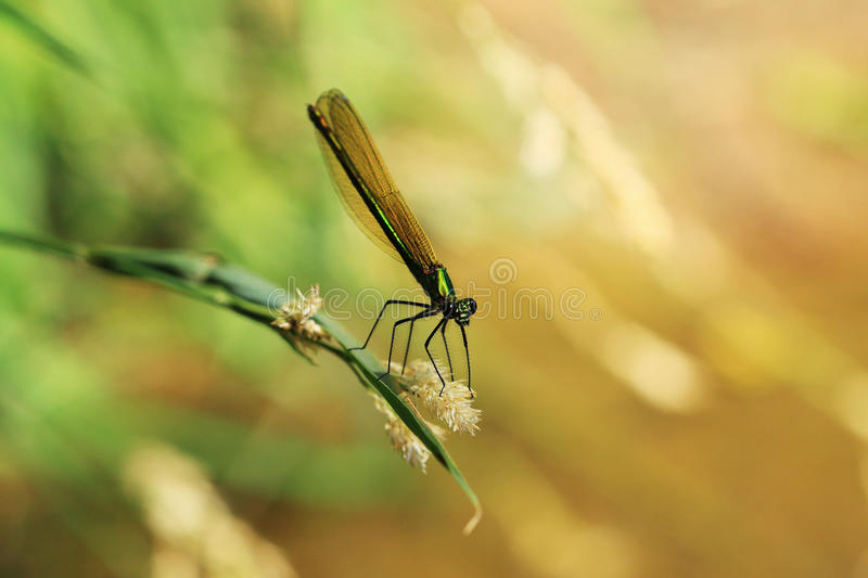 Dragonfly in the Nature royalty free stock images