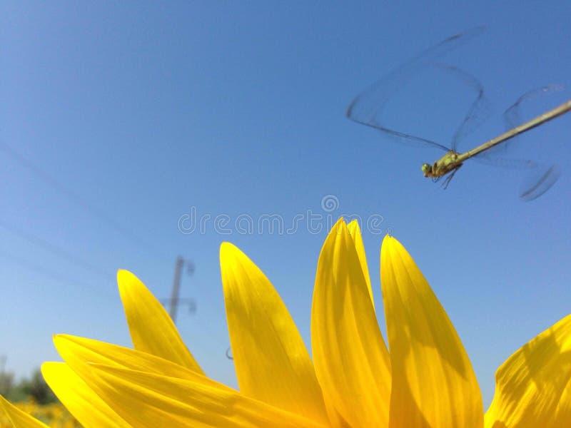 Dragonfly obsiadanie na p?atkach s?onecznik zdjęcie royalty free