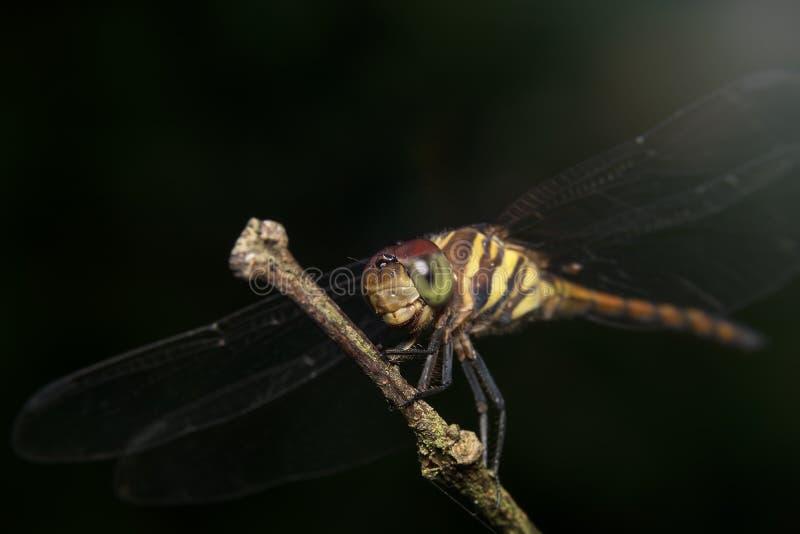 Dragonfly obsiadanie na roślinie fotografia royalty free