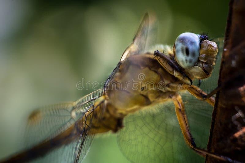 Dragonfly oczy widzią świat w multicolour zdjęcia royalty free