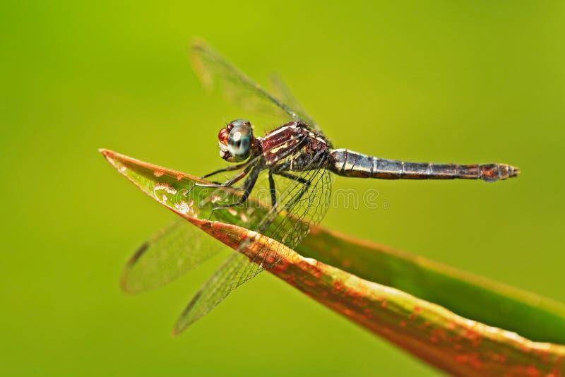 Dragonfly od Costa Rica Dragonfly obsiadanie na zielonych liściach Piękna smok komarnica w natury siedlisku Ładny insekt od centr obraz stock