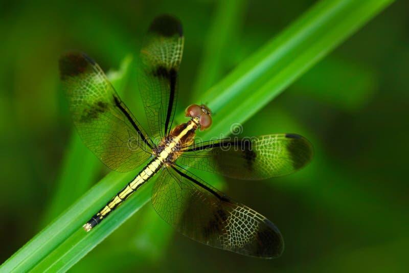 Dragonfly od Sri Lanka Pied Parasol, Neurothemis tullia, siedzi na zielonych liściach Piękny dragonfly w natury siedlisku obraz stock