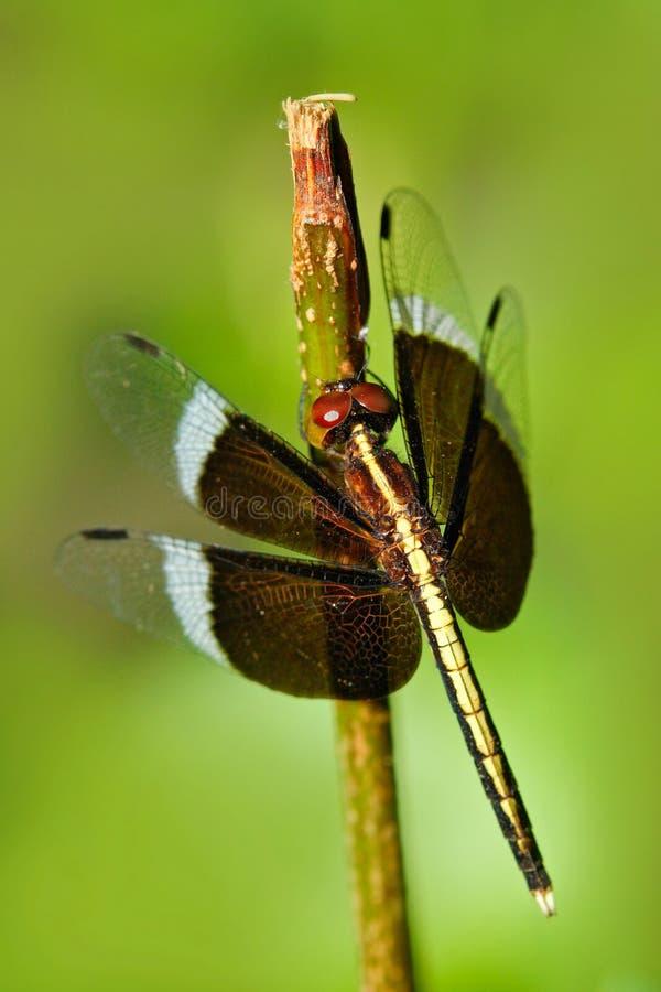 Dragonfly od Sri Lanka Pied Parasol, Neurothemis tullia, siedzi na zielonych liściach Piękny dragonfly w natury siedlisku obrazy stock