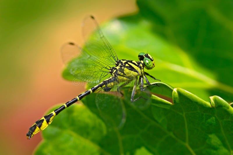 Dragonfly od Sri Lanka wijayaScissortail, Microgomphus wijaya, siedzi na zielonych liściach Piękna smok komarnica w nat obraz stock