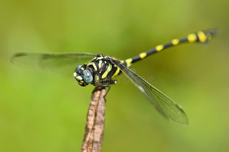 Dragonfly od Sri Lanka Zaborczy Flangetail, Ictinogomphus rapax, siedzi na zielonych liściach Piękna smok komarnica w natu zdjęcia stock