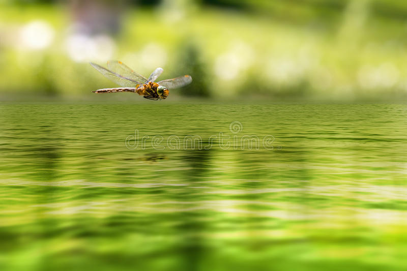 Dragonfly odbicie w Zen ogródzie obraz stock
