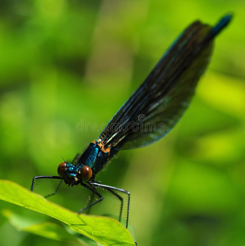Free Dragonfly Odonata In The Green Royalty Free Stock Photography - 35953997