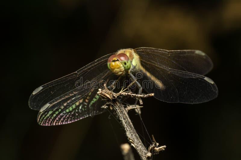 Dragonfly Odpoczywać obraz stock