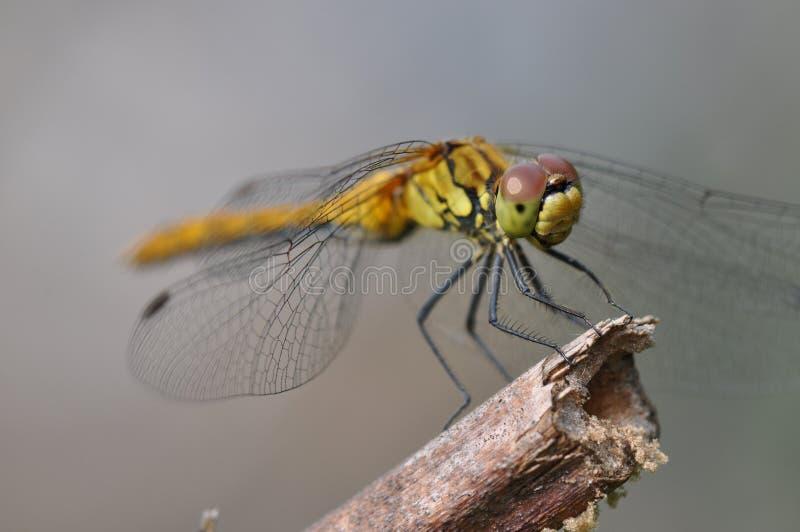 Dragonfly odpoczywa na gałązce zdjęcie stock