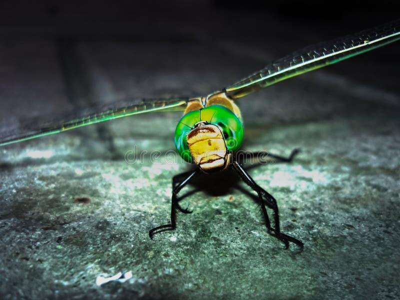 Dragonfly odpoczywa na kamieniu obraz royalty free