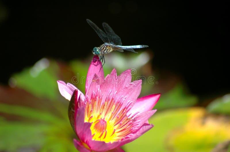 Dragonfly odpoczywa na różowej wodnej lelui zdjęcia stock