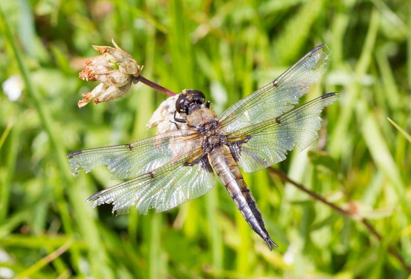 Dragonfly odpoczywa nad małym kwiatem obraz royalty free