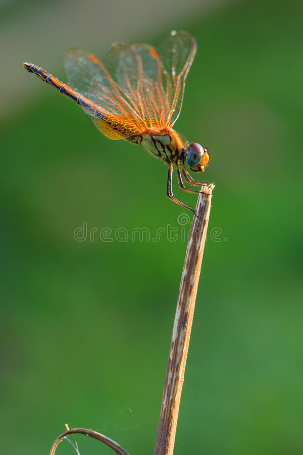 Dragonfly. Olourful dragonfly Macro photo of nature royalty free stock image