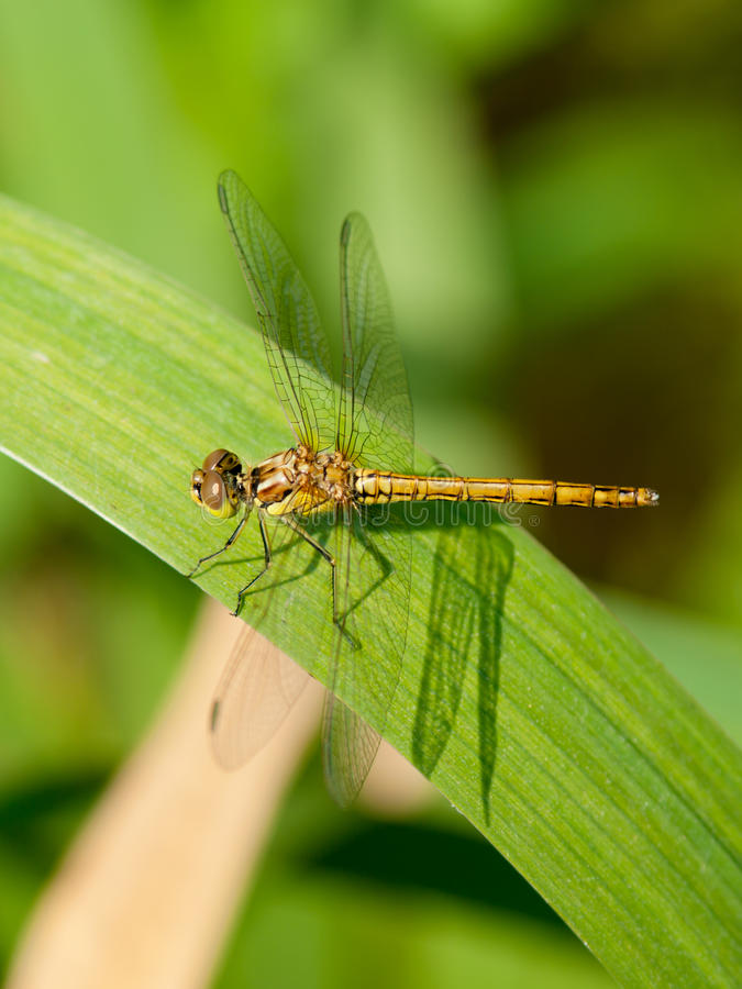 Free Dragonfly On The Leaf Royalty Free Stock Photos - 15076038