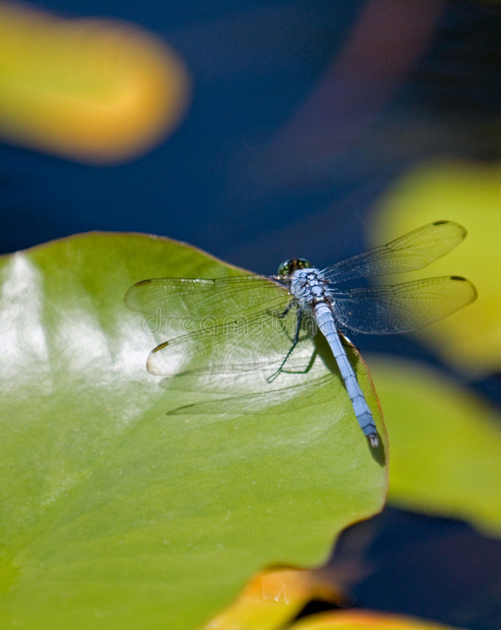 Free Dragonfly On Water-lily S Leaf Royalty Free Stock Photography - 7857987