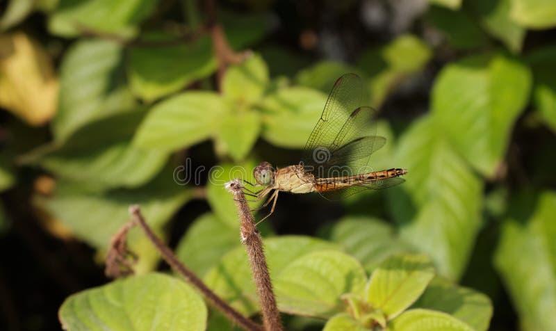 Dragonfly op blad royalty-vrije stock afbeelding