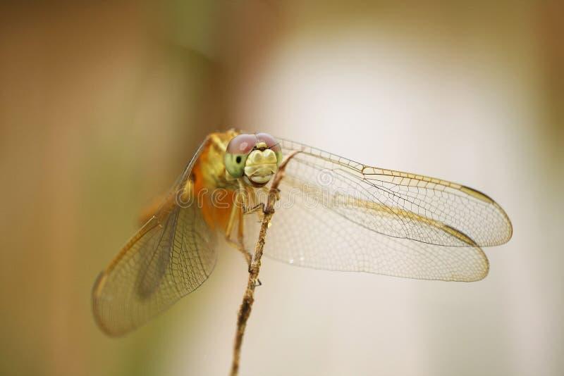 Dragonfly - Orchithemis Pulcherrima стоковое изображение rf