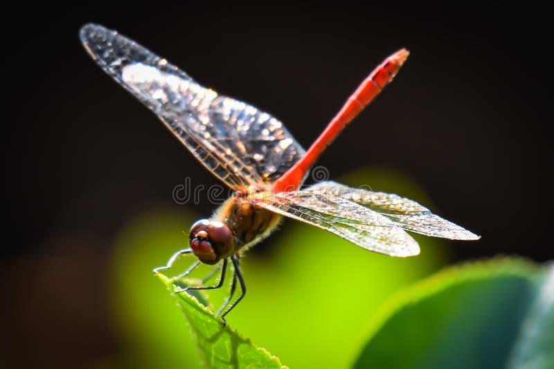 Dragonfly, order odonata, species sympetrumsanguineum stock image