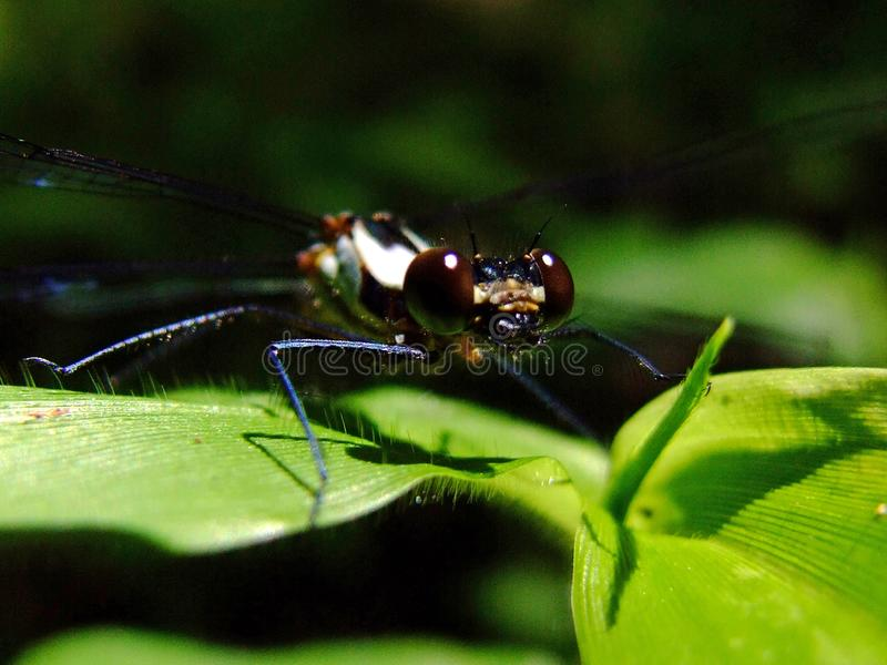 Dragonfly over leaf royalty free stock image
