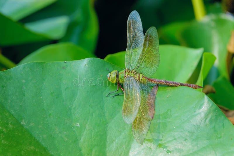Dragonfly på löv av vattenlöv arkivfoton